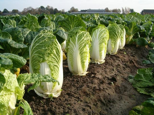 Как вырастить на огороде здоровую пекинскую капусту 1