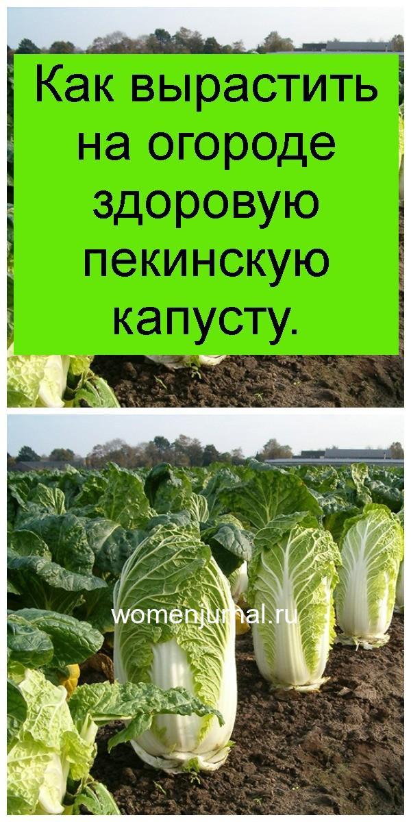 Как вырастить на огороде здоровую пекинскую капусту 4