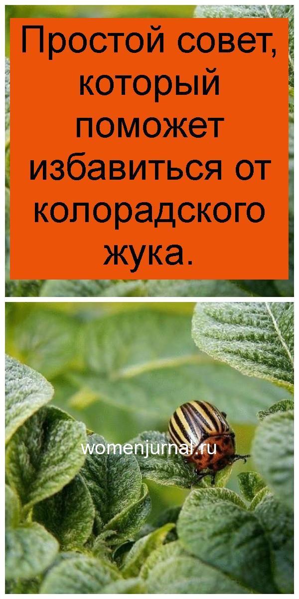 Простой совет, который поможет избавиться от колорадского жука 4