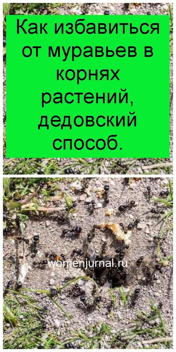 Как избавиться от муравьев в корнях растений, дедовский способ 4