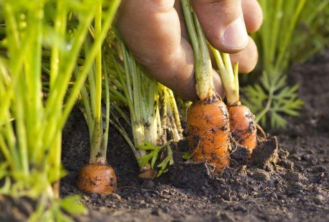 Можно ли в июле посадить морковь 1