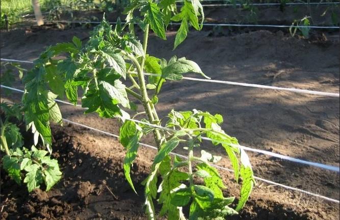 podvyazka-tomata-3537242
